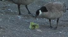 Canadian Geese And Gosling Family