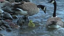 Canadian Geese And Gosling Entering River