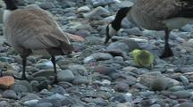 Canadian Geese And Gosling Foraging