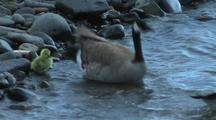 Canadian Goose With Gosling Entering River