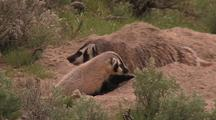 Badger Parent And Cub