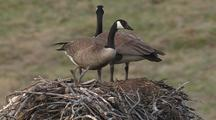 Canadian Geese Fixing Nest