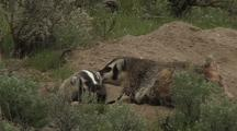Cuddly Badger Family