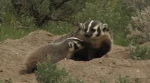 Badger Mother With 3 Cubs