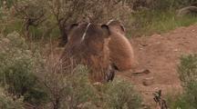 Badger And Cub Near Burrow