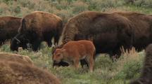 Bison Calf In Herd