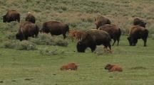 Herd Of Bison With Young
