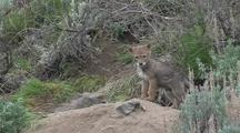 Coyote Puppies Exploring