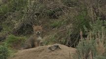 Coyote Puppy Exploring