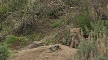 Coyote Puppy Shake