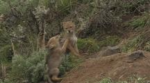 Coyote Pups Wrestling