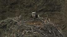 Osprey On Nest With Egg