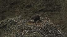 Osprey On Nest With Egg