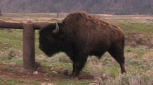 Bison Scratching At Post