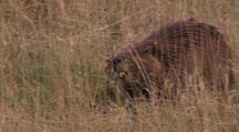 Beaver Gathering Brush
