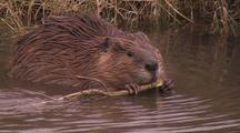 Beaver Gathering And Gnawing Branches
