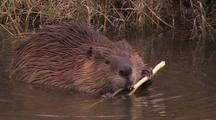 Beaver Gnawing On Branch