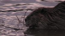Beaver Eating Branch