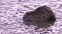 Beaver Foraging