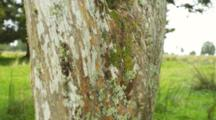 Pan Shot Up A Tree Trunk, Showing Lichens And Mosses Growing On The Bark.