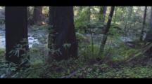 A Redwood Forest With A Flowing Stream, Cine-Slider Shot.