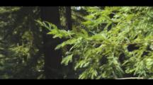 Redwood Branch Detail In Thick Forest, Shot Zooms Out