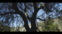 Oak Tree Silhouetted Against Hills Of Scrub And Golden Grass, Cine-Slider Shot.