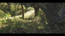 Ancient Oak Tree Growing In Dappled Forest, Dry Leaves And Lush Undergrowth. Lichen On The Tree Bark. Cine Slider Shot.