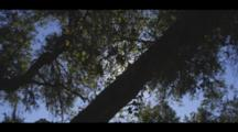 Sunlight Gleams Through An Oak Grove, With A Blue Sky Beyond. Cine-Slider Shot.