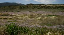 Field Of Sage, Bunch Grass And Wildflowers Moving In The Breeze, Near Rim Of Grand Canyon, Arizona.