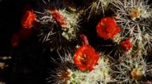 Prickly Pear Cactus Blossoms Growing In Sandstone, Grand Canyon, Arizona.