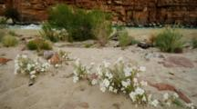 Wildflowers And River At Lees Ferry, Fast Current, Tilt From River To Butte.