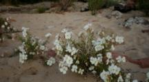 Wildflowers And River At Lees Ferry, Fast Current, Many Colored Rocks, Butte. Shot Zooms From Flowers To River Scene