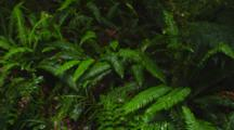 Lush Ferns And Wet Understory Growth In A Rainforest. South Island, New Zealand.