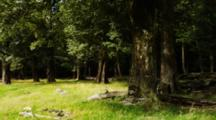 Old Growth Trees In Grass Filled Forest. South Island, New Zealand.