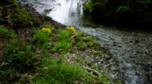 Stream Flowing, With Yellow Flowers On Bank, Shot Pans From Left To Right Up The Rocky Stream, Light Shifts Upon The Water. South Island, New Zealand.