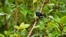 Songbird, Black, Yellow And White; Perched Then Flits From Branch Out Of Frame.