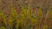 Detail Of Yellow Flowering Mustard, Princes Plumes Against Desert Red Rock And Arid Shrubs, Utah.