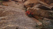 Red Indian Paintbrush Flowers Grow In The Crevice Of A Red Rock Sandstone Cliff, Zion National Park, Utah.