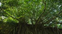 Lush Shady Canopy And The Spindly Roots Of The Banyan Trees Growing Down A Cliff. Hawaii