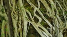 Spindly Roots Of Banyan Trees Growing Down A Cliff. Hawaii