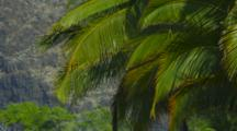 Wind Moves Large Palm Fronds In The Tropical Breeze. Kealakekua Bay, Hawaii