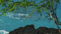 Turquoise Ocean Waters Meet The Black Lava Shore Framed By An Acacia Tree, Yellow Butterflies Move Through.  Kealakekua Bay, Hawaii.