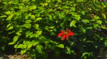 Cine Slider With Green Leaves And Poinsettia Blossom. Kailua-Kona, Hawaii.