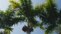 Shot Pans Around, Royal Palm Tree Trio Waving Their Fronds Against The Blue Sky, Ripe Fruit (Dates) Shown, Kailua-Kona, Hawaii.