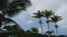 Royal Palm Tree Trio Waving Their Fronds Against The Blue Sky, Cine Slider Moves Past Foreground Palm. Kailua-Kona, Hawaii.