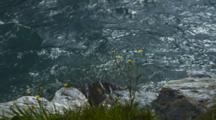 Shot Pans Down. Close Shot Of Aqua Blue Turquoise Water Flowing Along Rocky River Bank, Dandelions And Grass On Shore.