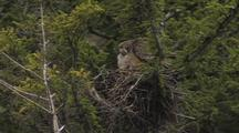 Great Horned Owl (Bubo Virginianus) And Owlet In Nest