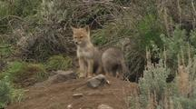 Coyote Pups Exploring & Playing