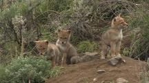 Playing Coyote Pups